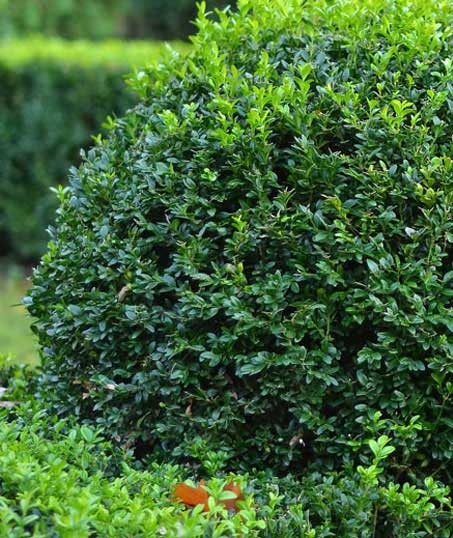 Green FX Landscaping Commercial Shrubs & Hedges